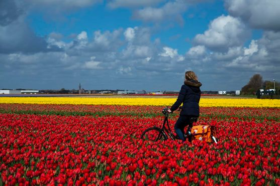 A farmer bikes in a field of tulips in Lisse, the Netherlands.
