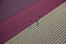 Farmers work in a field of blossoming tulips in Den Helder, northern Netherlands.