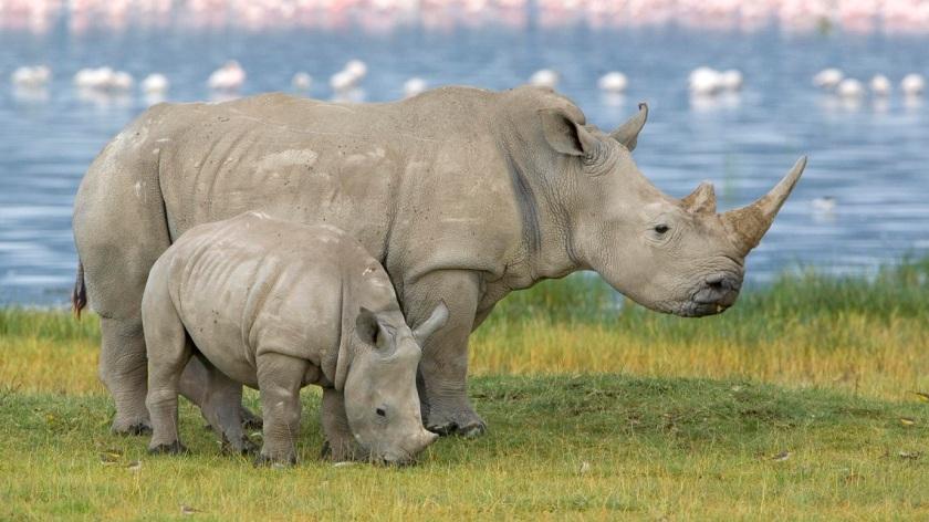 rinoceronti-