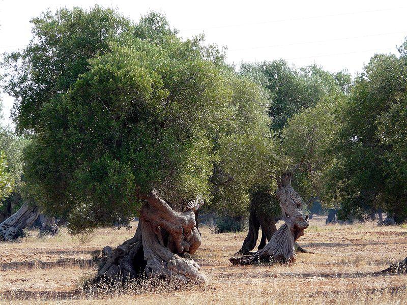 OlivoItalia.jpg