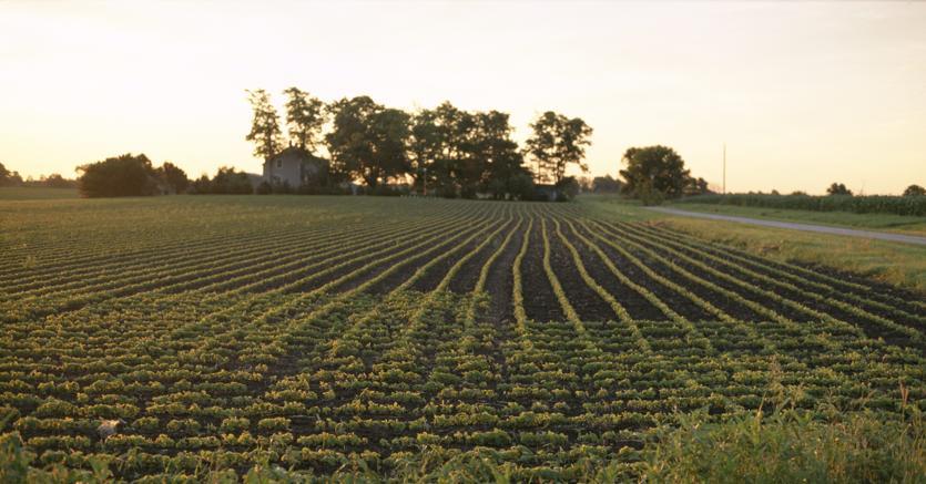 soia-coltivazione-campo-olycom-kn0C--835x437@IlSole24Ore-Web.jpg