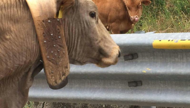 mucche.jpeg