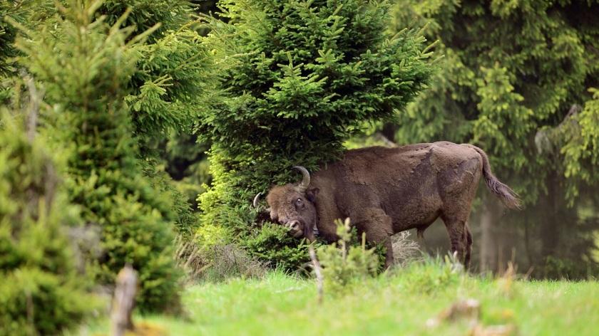bisonti-polonia.jpg