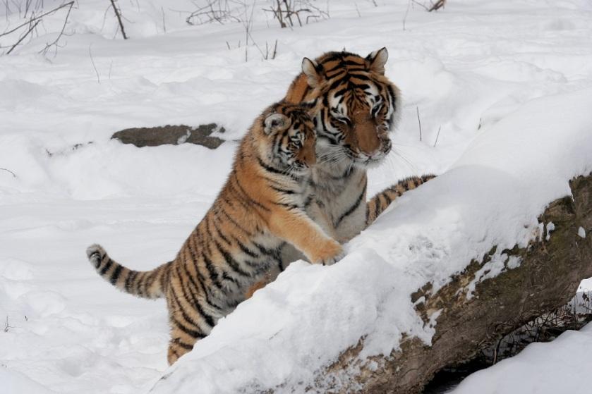 tigre-dellamur-con-cucciolo.jpg
