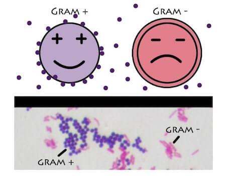 gram-positivi-gram-negativi.jpg